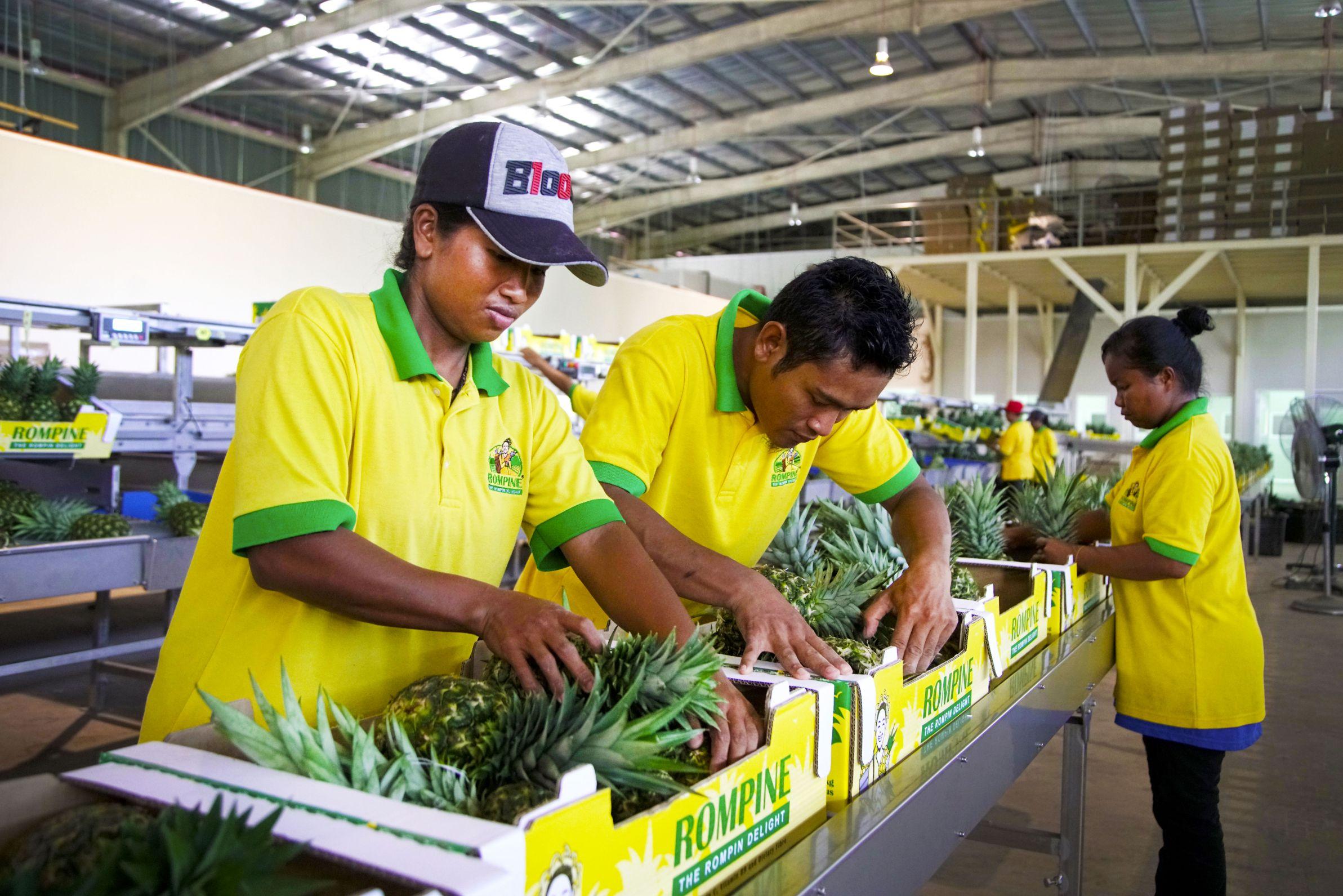 Pembungkusan produk nanas oleh pekerja Orang Asli