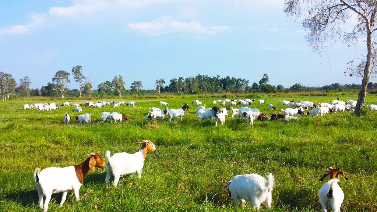 telaga-papan-goat-farm